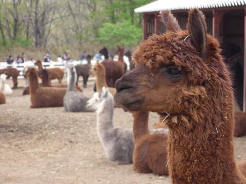 alpaca09.jpg