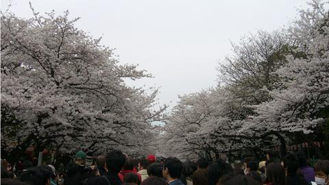 uenosakura.jpg